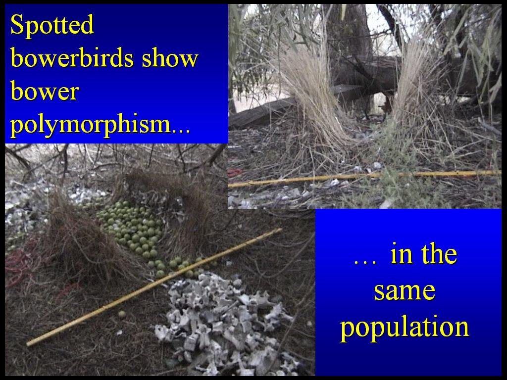 Sexual selection in bowerbirds
