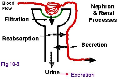 urine filtration process