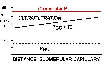Lecture 13: Renal Function - GFR